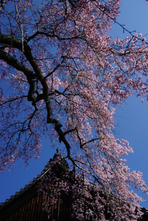 中将法如尼を偲んで・・・枝垂桜樹齢三百余年